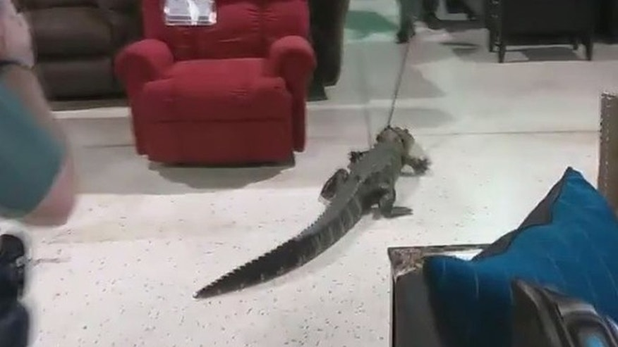 The gator being led through the store.