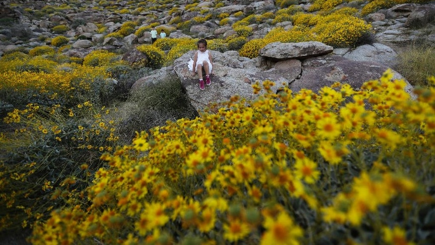 In this March 27, 2017, photo, Zoey Speer, of Temecula, Calif., clamors among rocks and blooming desert shrubs in Borrego Springs, Calif. Rain-fed wildflowers have been sprouting from California's desert sands after lying dormant for years - producing a spectacular display that has been drawing record crowds and traffic jams in area desert towns. (AP Photo/Gregory Bull)