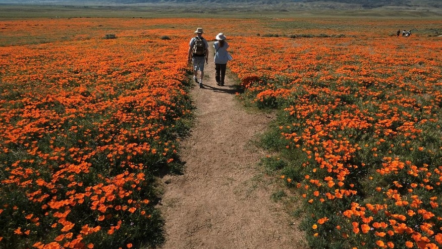In this March 19, 2017, photo, visitors walk among the poppy bloom at Antelope Valley California Poppy Reserve in Lancaster, Calif. Rain-fed wildflowers have been sprouting from California's desert sands after lying dormant for years - producing a spectacular display that has been drawing record crowds and traffic jams to desert towns. (AP Photo/Richard Vogel)