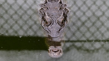 An Acutus crocodile is pictured at Panagator, a sustainable crocodile farm, on the outskirts of Panama City September 11, 2015. Gladys Vallarino, owner of the farm and of a specialty boutique shop selling items made from crocodiles, says the farm looks after more than 19,000 Acutus and Fuscus species of crocodiles and donates five percent of its crocodiles annually to the Panamanian authorities to be put into the wild, in accordance with the regulations of the CITES (Convention of International Trade in Endangered Species). The handmade fashion items sell for $200 to $3,000. REUTERS/Carlos Jasso - RTSPOJ