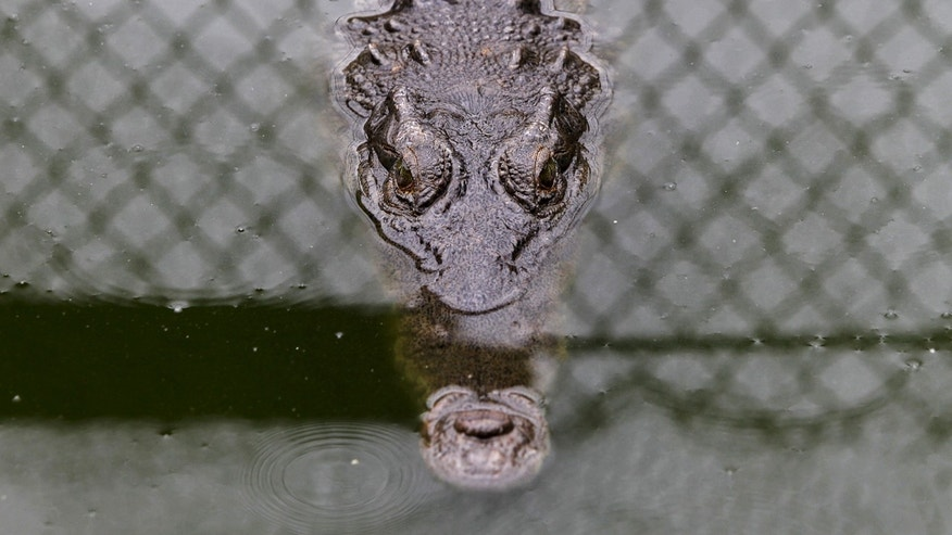 An Acutus crocodile is pictured at Panagator, a sustainable crocodile farm, on the outskirts of Panama City September 11, 2015.