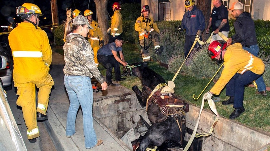 This Saturday, April 1, 2017 photo provided by Bob Markin shows Riverside Fire Department firefighters help rescue a horse from a hole in the ground in Riverside, Calif.