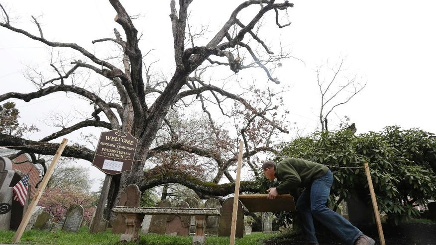 In a photograph taken Friday, April 21, 2017, Keith Keiling carries boards to be used for support beams in holding a 600-year-old white oak tree on the grounds of Basking Ridge Presbyterian Church in Bernards, N.J. Keiling's tree removal company is scheduled to remove the tree, believed to be among the oldest in the nation but was declared dead after numerous problems started appearing last summer. (AP Photo/Julio Cortez)