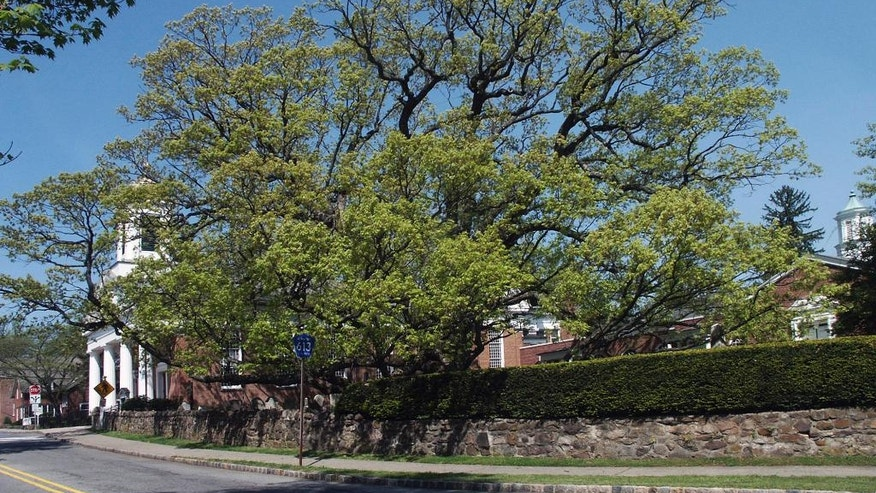This 2006 photo provided by the Basking Ridge Presbyterian Church shows a 600-year-old white oak tree that's believed to be among the oldest in the nation, in Bernards, N.J. Crews are scheduled to remove the church's tree which was declared dead after numerous problems started appearing in the summer 2016. The tree has served as a scenic backdrop for thousands of photographs over the years and according to legend, was a spot where George Washington once held a picnic. (J. Wayman Williams/Basking Ridge Presbyterian Church via AP )