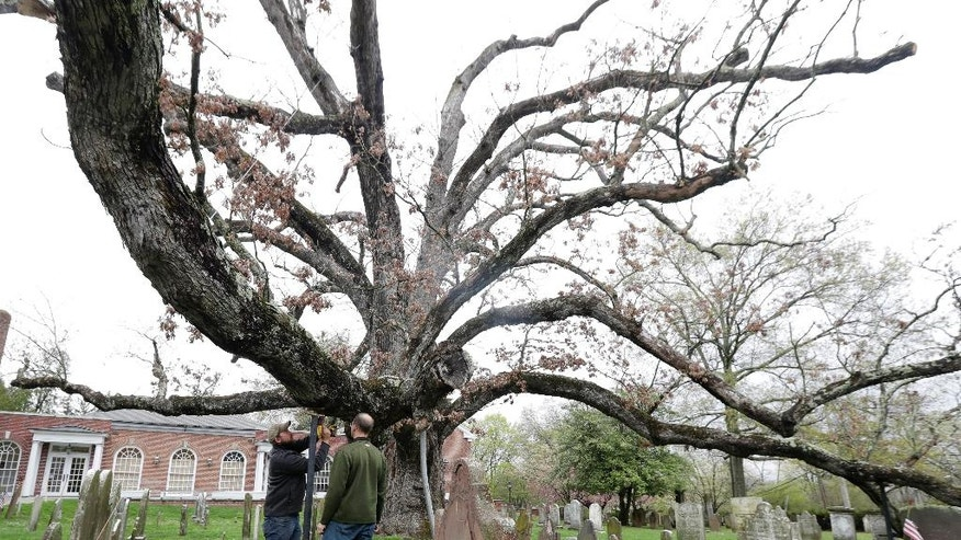 In a photograph taken Friday, April 21, 2017, Keith Keiling, right, and his brother Bobby Keiling set up a support beam to hold up a limb of a 600-year-old white oak tree on the grounds of Basking Ridge Presbyterian Church in Bernards, N.J. The Keiling's tree removal company is scheduled to remove the tree, believed to be among the oldest in the nation but was declared dead after numerous problems started appearing last summer. (AP Photo/Julio Cortez)