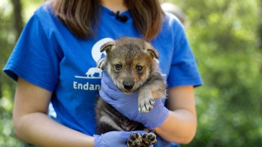 Regina Mossotti, director of animal care and conservation at the Endangered Wolf Center, holds a Mexican wolf born April 2 at the facility Monday, April 24, 2017, in Eureka, Mo. The wolf was conceived by artificial insemination which is offering new hope for repopulating the endangered species by using sperm that had been frozen. (AP Photo/Jeff Roberson)