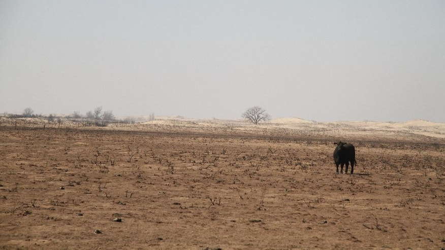FILE - In this March 7, 2017 file photo, a lone cow wanders charred prairie following devastating wildfires in Clark County, Ark. The Western mountains are flush with snow and California has canceled its drought emergency, but some farmers and ranchers on the high plains are struggling amid a lengthy dry spell and the aftermath of destructive wildfires.  (Michale Pearce/The Wichita Eagle via AP)