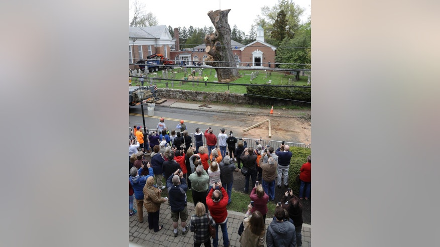 People watch as the trunk of a 600 year old oak tree is moved by a crane, Wednesday, April 26, 2017, in Bernards, N.J. Crews completed taking down a 600-year-old white oak tree that's believed to be among the oldest in the nation after work was halted because of bad weather. (AP Photo/Julio Cortez)