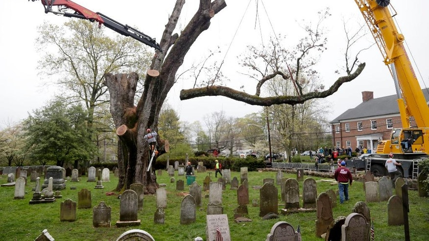 A large branch is removed from an old oak tree in Basking Ridge, N.J., Wednesday, April 26, 2017. Crews have returned to a New Jersey church where they are taking down a 600-year-old white oak tree that's believed to be among the oldest in the nation. The process had started on Monday but was suspended Tuesday due to heavy rain and gusty winds. (AP Photo/Seth Wenig)