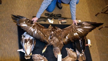 FILE - This Feb. 1, 2016, file photo provided by the Nevada Department of Wildlife shows a Nevada game warden displaying the carcasses and wings of two golden eagles and a hawk seized from an Arizona man accused of killing an eagle and illegally possessing raptor parts at the department's office in Elko. A two-year undercover operation in South Dakota has led to indictments against 15 people for illegally trafficking eagles and other migratory birds. The case in federal court in South Dakota offers a rare window into the black market for eagle feathers, parts and handicrafts. (Joe Doucette/Nevada Department of Wildlife via AP, File)