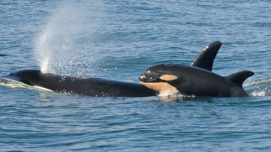FILE 2015: A female killer whale and her newborn calf are seen in this handout photo.