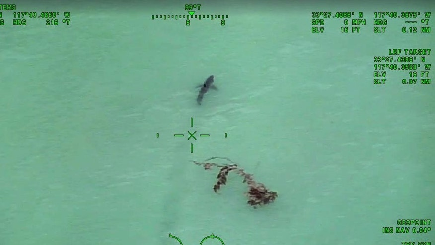 In this Wednesday, May 10, 2017 still image taken from video provided by the Orange County, Calif., Sheriff's Department, a great white shark is seen swimming off the coast of Dana Point, Calif. A sheriff's helicopter crew warned a group of paddleboarders to exit the water after spotting more than a dozen great white sharks along the Southern California coast. (Orange County Sheriff's Department via AP)