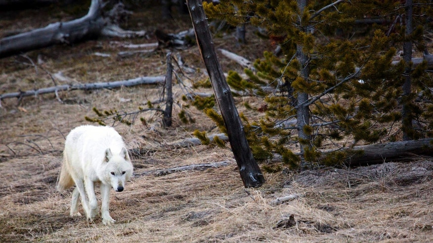 FILE - In this April 6, 2016, file photo provided by the Yellowstone National Park Service, a white wolf walks in Yellowstone National Park, in Wyo.