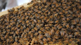"Two honey bee colonies, each containing tens of thousands of the pollinators, sit on the roof of the Fisher's Landing New Seasons Market after being placed there on July 8, 2013 in Vancouver, Wash. The bees, part of the company's new ""Bee Part of the Solution"" campaign, will begin producing honey which the regional grocery store chain hopes will eventually be sold in their stores. (AP Photo, The Columbian, Stover E. Harger III)"