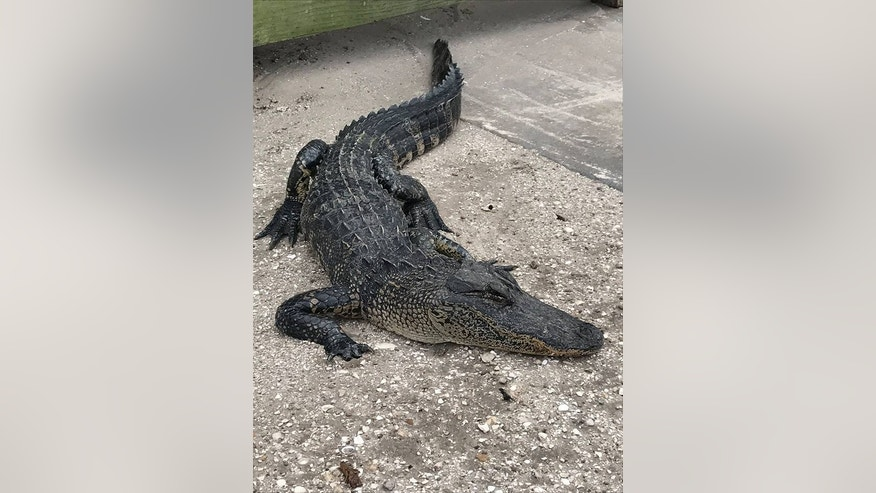 The alligator in Indiantown was found with its eyes gouged out earlier this week, police said. (Martin County Sheriff's Office)