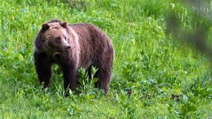 Alaska park rangers search for bear after hikers attacked