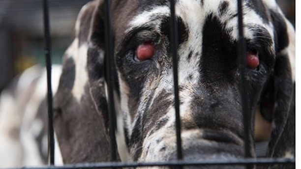 A dog waits to be loaded onto a transport vehicle as The Humane Society of the United States rescues approximately 70 Great Danes from a suspected puppy mill on Friday, June 16, 2017, in Wolfeboro, N.H.  The Wolfeboro Police Dept. called in The HSUS to assist with rescue and long-term care of the dogs. (Meredith Lee/The HSUS)