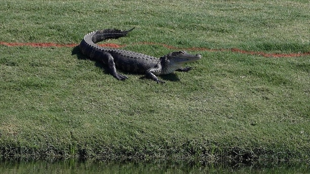 An alligator suns itself along the 11th green during a practice round for The Players Championship golf tournament Wednesday, May 10, 2017, in Ponte Vedra Beach, Fla. (AP Photo/Chris O'Meara)