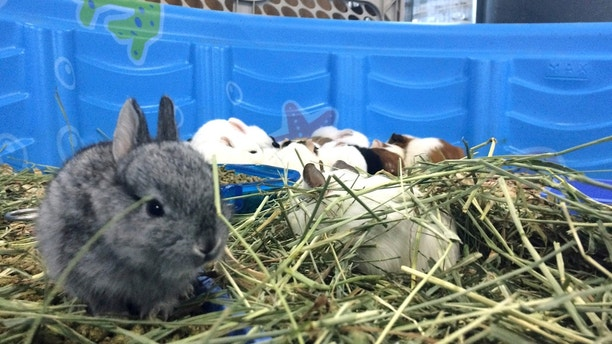 This Monday, June 19, 2017 photo a gray baby rabbit, dubbed Thumper by Fresno Humane Animal Services guardians, rests in hay inside a makeshift kiddie pool home at the Fresno Humane Animal Services in Fresno, Calif. The Fresno Humane Animal Services has been left with nearly 1,000 small animals after California authorities seized them from a truck trailer.  (Marc Benjamin /The Fresno Bee via AP)