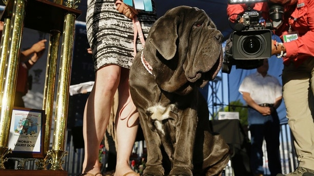 Mastiff 'Martha' Named This Year's Winner In