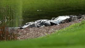 Feb 23, 2017; Palm Beach Gardens, FL, USA; An alligator lays on the banks of a pond on the sixteenth hole during the first round of The Honda Classic at PGA National (Champion). Mandatory Credit: Jason Getz-USA TODAY Sports - RTS101Q7