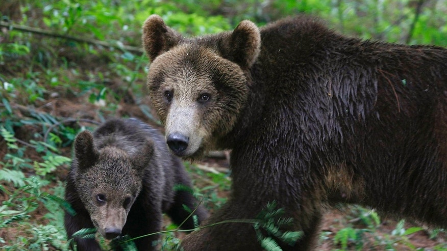 Two brown bear attacks have been reported in two different locations in Alaska on Saturday, June 24, 2017.