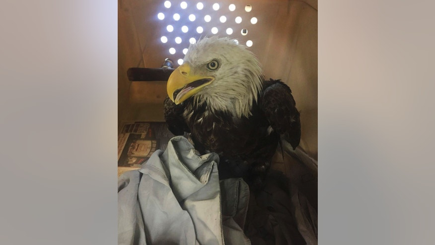 This July 1, 2017 photo provided by the Humane Rescue Alliance shows an injured bald eagle found in Washington. It was unable to fly, appeared lethargic and had labored breathing. (Humane Rescue Alliance via AP)