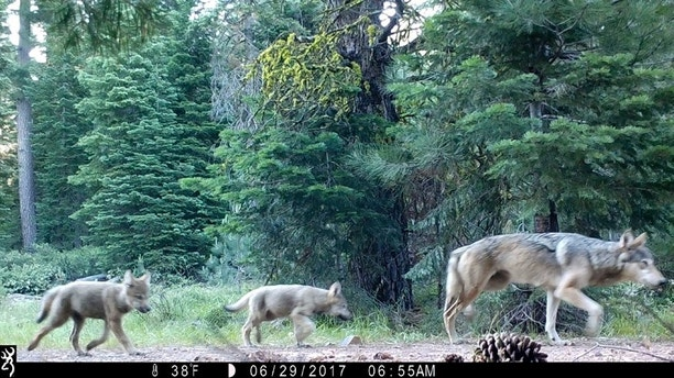 This June 29, 2017, remote camera image released by the U.S. Forest Service shows a female gray wolf and two of the three pups born this year in the wilds of Lassen National Forest in Northern California. California wildlife officials said Wednesday, July 5, the female gray wolf and her mate have produced at least three pups this year in the wilds of Lassen County. (U.S. Forest Service via AP)
