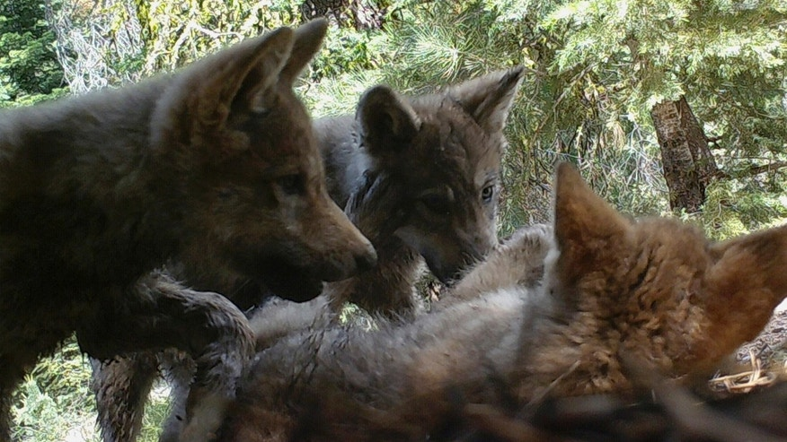 JUNE 30: Remote camera image released by the U.S. Forest Service shows a female gray wolf and her mate with a pup born this year in the wilds of Lassen National Forest in Northern California.