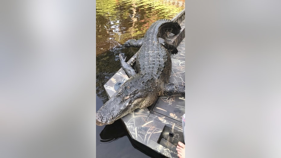 The massive alligator turned up in the Neuse River on Saturday.