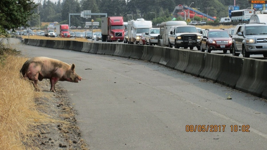 The pig jumped from the trailer on Interstate 5 near Federal Way.