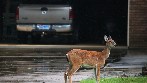 A deer stands in the driveway of a house as it escapes high flooding water from the San Jacinto River following Hurricane Harvey in Conroe, Texas, U.S., August 29, 2017. REUTERS/Carlo Allegri - RTX3DX44