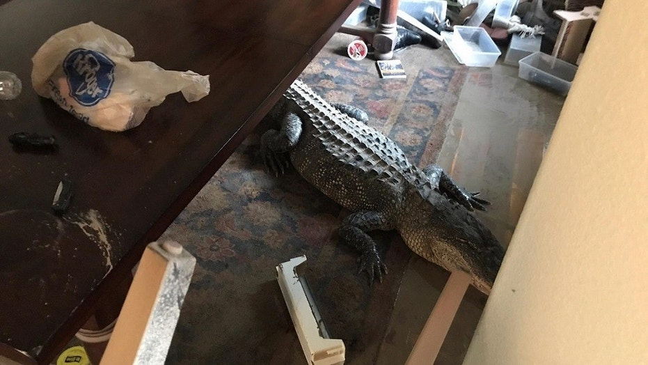 A Humble, Texas, man discovered an alligator in his dining room while looking at damage the home had suffered, it's been reported.