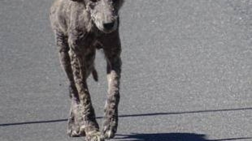 "Police warned residents to stay away from the ""zombie dogs"" because they are infected coyotes."