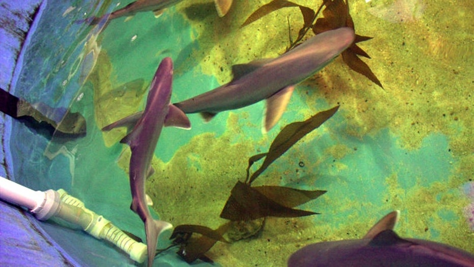 10 sharks found in homes basement pool Fox News