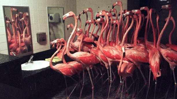 Flamingos crowd together in a restroom at Miami's Metro Zoo September 25. More than fifty of the pink birds were herded into the facility for protection from Hurricane Georges, which made landfall in the Florida Keys. The zoo lost most of its birds in a 1992 hurricane, so officials moved the birds as a precaution. Tropical storm-force winds reached up to the Miami metro area, keeping man and beast out of the elements. - PBEAHUMFTCO