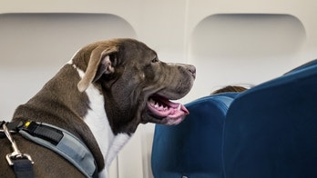 Pit Bull Service Dog Travels on Airplane Seat
