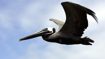 A brown pelican (pelecanus occidentalis) flies over Ecuador's Galapagos islands April 30, 2007, where British naturalist Charles Darwin conceived his theory of evolution. Growing tourism  has conservationists worried over damage to the volcanic islands' unique ecosystem. REUTERS/Guillermo Granja(ECUADOR) - GM1DVDTEHKAA