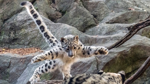 Ghost cat' snow leopard debuts at Bronx Zoo
