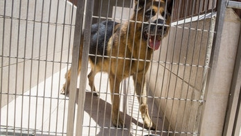 A German Shepherd dog is seen in a cage in a veterinary clinic in Caracas, Venezuela September 22, 2015. Venezuelan pet shops are struggling to stock shelves with food and medicine due to economic crisis, forcing dog and cat owners to stretch feed and police to ration food for canine units. REUTERS/Marco Bello - GF10000216193