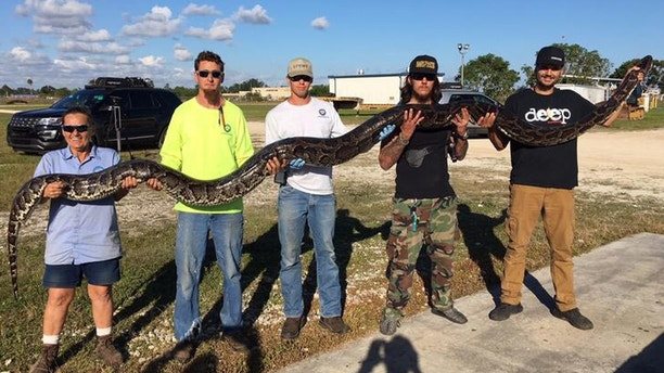 Snake hunters catch 17-foot-long python in Florida Everglades
