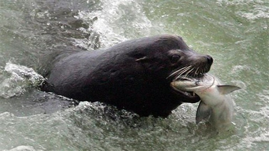 A swimmer was bit in the arm by a sea lion in San Francisco Bay.