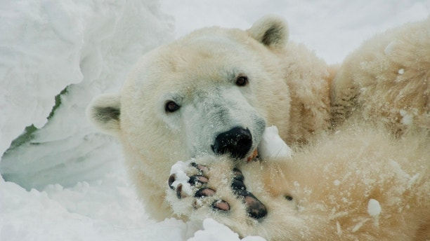 Oldest polar bear in US celebrates 37th birthday