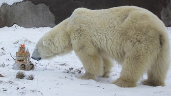 "This photo provided by the Philadelphia Zoo shows Coldilocks, the oldest polar bear in the U.S., at 37. The zoo says they celebrated her birthday Thursday, Dec. 14, 2017, with a cake made of peanut butter, honey, raisins and fish. Guests at the party braved a cold, icy day to sing ""Happy Birthday"" to the bear. Zoo officials say the average lifespan for polar bears in captivity is 23 years. They credit Coldilocks' long age with the care she receives from her keepers and veterinary staff. Coldilocks lived with her partner Klondike for more than three decades before the bear died in 2015 at age 34. (Philadelphia Zoo via AP)"