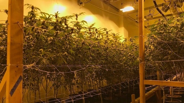 "In this Wednesday, Dec. 13, 2017 photo released by the San Bernardino Police Department, is a shut down marijuana operation of some 35,000 plants they believe was bringing in millions of dollars a month in San Bernardino, Calif. Police say eight people were detained Wednesday when police and federal agents raided a warehouse that was converted into a multi-level grow house. They said the once-abandoned warehouse was recently outfitted with a 12-foot fence, ""fortified doors"" and surveillance cameras. (San Bernardino Police Department via AP)"