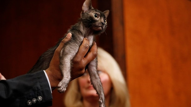 A Lykoi breed of cat, a new breed recognized by the American Kennel Club, stands during a meet the breeds event at the American Kennel Club offices in Manhattan, New York, U.S. January 10, 2018. REUTERS/Shannon Stapleton - RC1D1D65D730