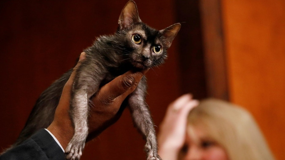 A Lykoi breed of cat, a new breed recognized by the American Kennel Club, stands during a meet the breeds event.
