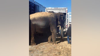 This Wednesday, Jan. 24, 2018, photo provided by the Oklahoma Highway Patrol shows elephants being transferred to another trailer for transportation to Iowa after the floor of the trailer they were riding in started to give way on U.S. 69 near Eufaula, Okla. A veterinarian from the area helped move the pachyderms. (Oklahoma Highway Patrol via AP)