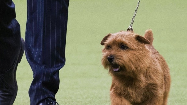 Handler Ernesto Lara leads Winston, a Norfolk terrier, in the ring during the terrier group competition during the 142nd Westminster Kennel Club Dog Show, Tuesday, Feb. 13, 2018, at Madison Square Garden in New York. Winston won best in the terrier group. (AP Photo/Mary Altaffer)