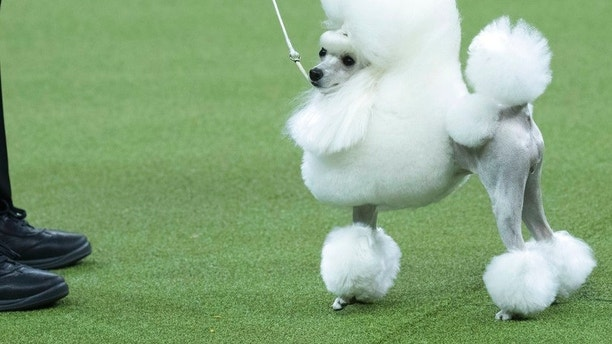 Cami, a toy poodle, competes in the Toy group during the 142nd Westminster Kennel Club Dog Show, Monday, Feb. 12, 2018, at Madison Square Garden in New York. (AP Photo/Mary Altaffer)